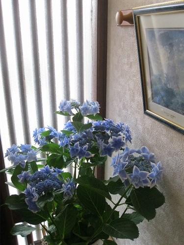 我が家玄関の紫陽花に「行ってきます~」AM6時
