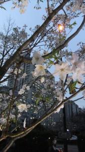 2016.03.30の都内の桜