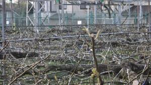 鎌ケ谷市の名産は梨です。