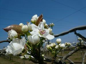 鎌ケ谷市の名産である梨の花の季節です。