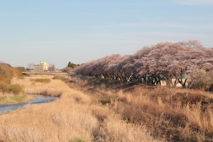 浪江町の桜