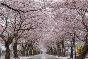 有名な富岡町夜ノ森の桜